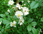 Multiflora Rose flowers and leaves