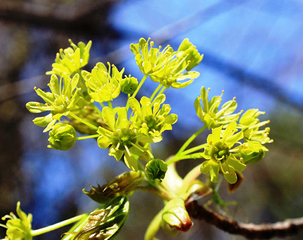 Norway maple flowers
