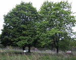 Norway maple mature trees