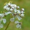 pepperweed flowers