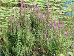 Purple loosestrife growth form