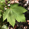 sycamore maple leaf