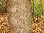 Sycamore maple bark