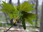 Sycamore maple flower cluster and young leaves