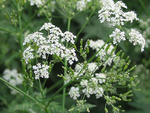 Wild chervil flowers and seeds