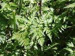 Wild chervil leaves and stem