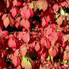 winged euonymus