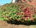 Winged euonymus planted as a landscape shrub