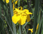 Yellow iris flower and buds