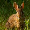 cottontail rabbit © Chris Ruggiero