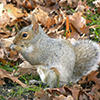 Gray squirrel © Ellen Farmer