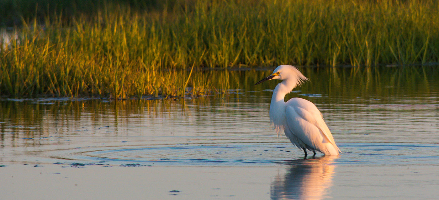 Snowy Egret wading in a wetland at sunset © Pat Ulrich