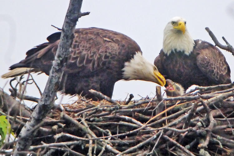 Bald Eagle pair in the nest feeding their chick © Richard Johnson