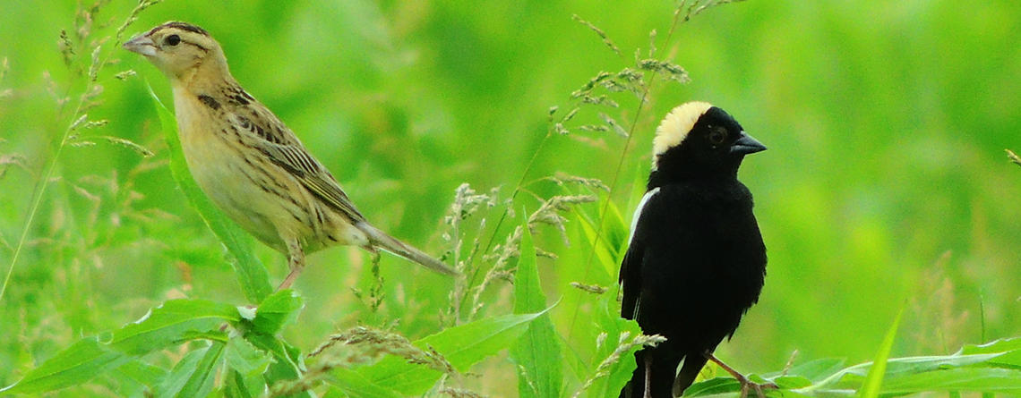 Bobolink pair in a field at Arcadia Wildlife Sanctuary © Dave McLain