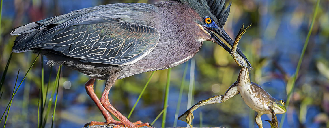 Green Heron catching American Bullfrog © Michael Snow