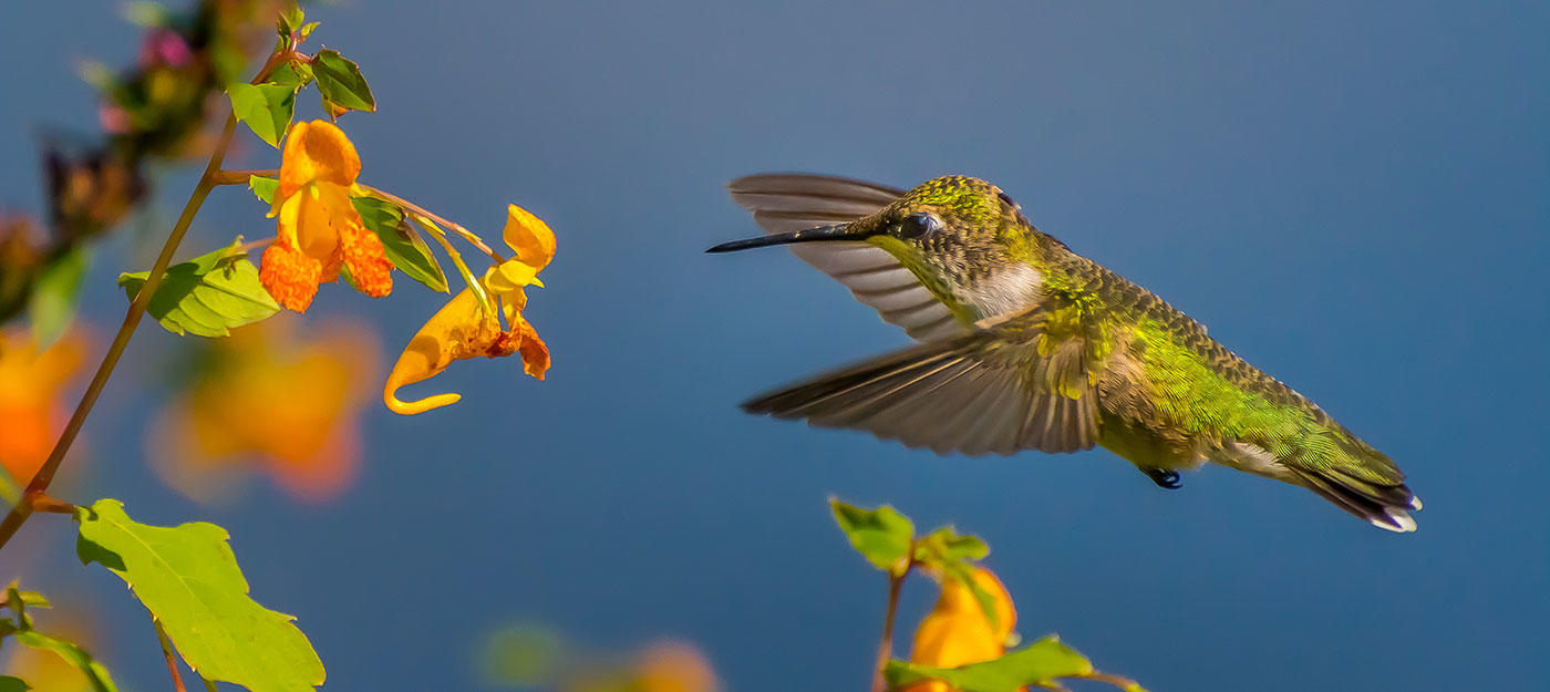 Ruby-throated Hummingbird © Bernard Creswick