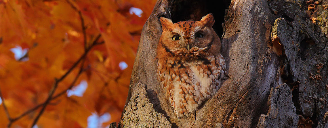 Eastern Screech Owl red morph in a tree with fall foliage © Christopher Peterson