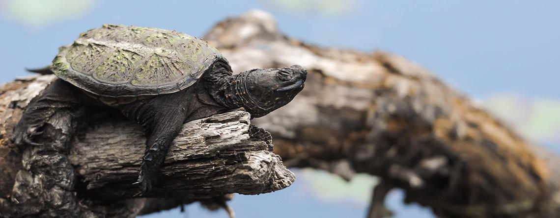 Common Snapping Turtle baby resting on a pond log © Susumu Kishihara