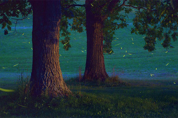 Fireflies under trees at dusk © Cassie G.