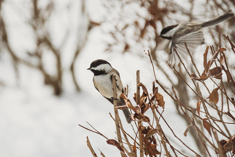 Black-capped Chickadees in winter