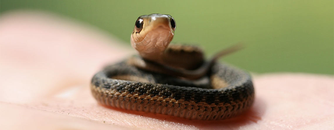 Baby snake curled up in a person's palm © Beckie Lundrigan