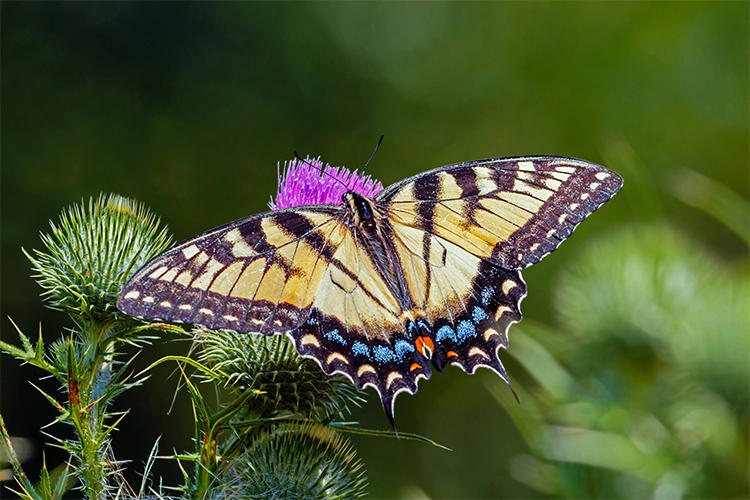 Eastern Tiger Swallowtail © Bill Powell