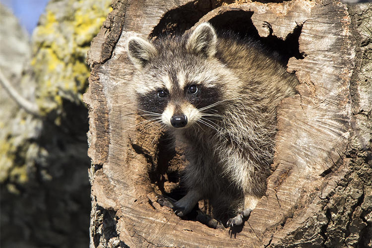 Raccoon in tree cavity in winter © Sarah Keates