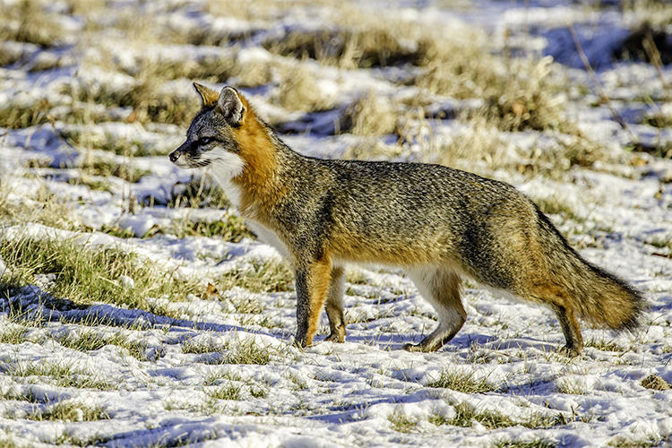 Gray Fox in snowy field at Daniel Webster Wildlife Sanctuary © Michael Snow