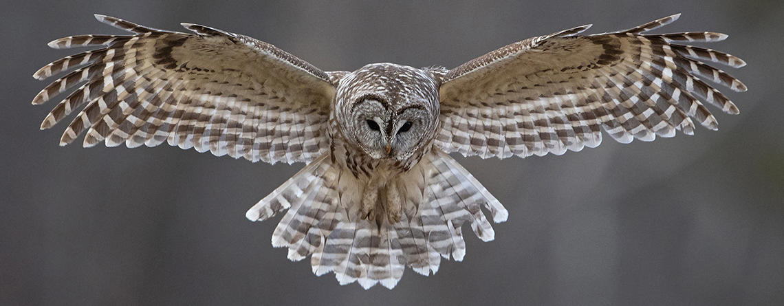 Barred Owl with wings spread in mid-flight © Cynthia Rand