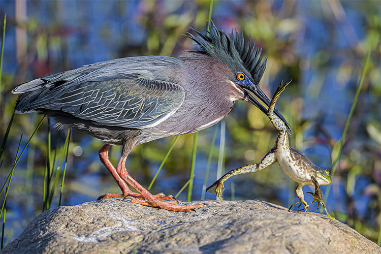 Green Heron catching a bullfrog at Daniel Webster Wildlife Sanctuary © Michael Snow