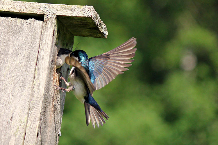Tree swallows in nestbox © LisaGurney