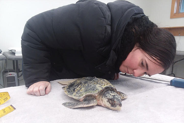 Wellfleet Bay Turtle Team member Maureen Duffy monitors a rescued Kemp's Ridley sea turtle