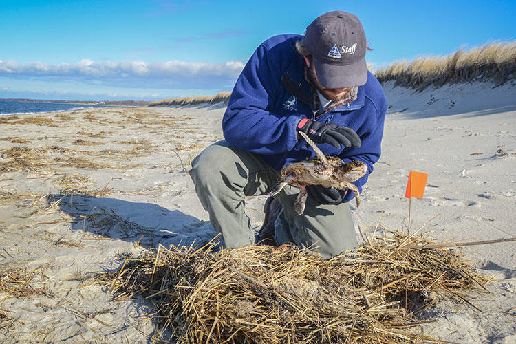Wellfleet Bay staff member examining a sea turtle © Esther Horvath