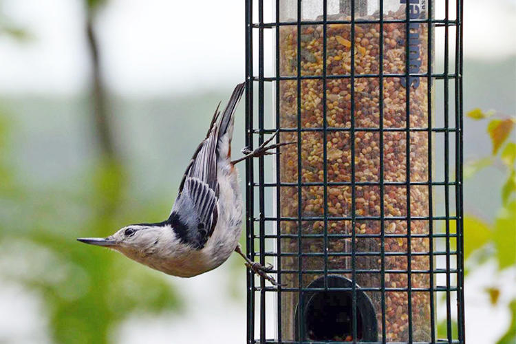 White-breasted Nuthatch at feeder © Jasmine Kaseta