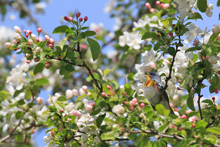 Northern Parula in a flowering tree