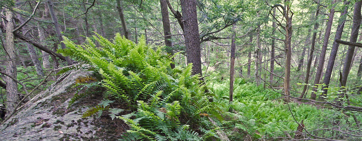 Woods on O'Brien property near West Mountain