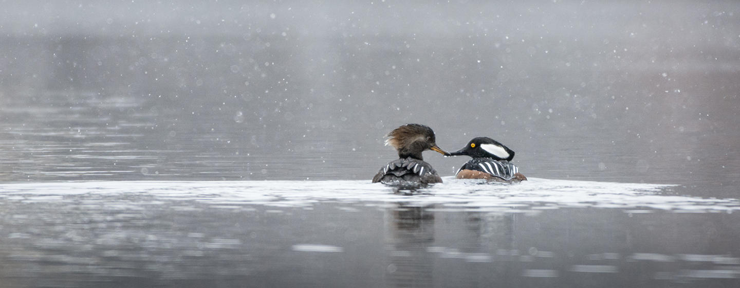 Pair of hooded mergansers © Corey Nimmer