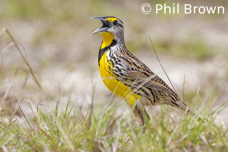 Eastern Meadowlark © Phil Brown